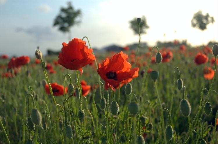 Poppies_Field_in_Flanders.jpg